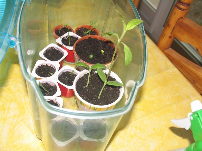 planter des graines et des p pins page 20 au jardin forum de jardinage. Black Bedroom Furniture Sets. Home Design Ideas