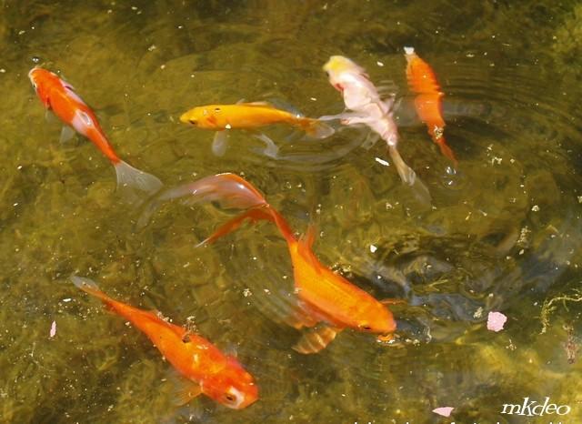 Confiez moi vos poissons poisson rouge le blog des for Bassin pour poisson rouge