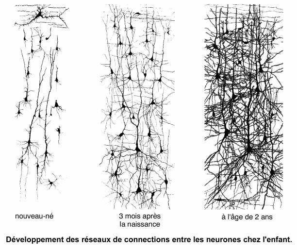 Développement du cerveau de l'enfant