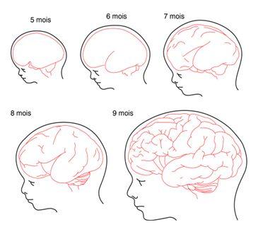 Le cerveau du foetus