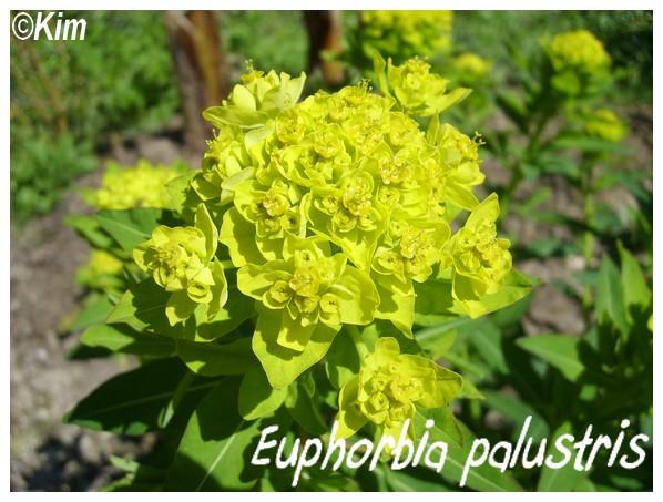 euphorbia palustris spectaculaire pour les zones humides. Black Bedroom Furniture Sets. Home Design Ideas