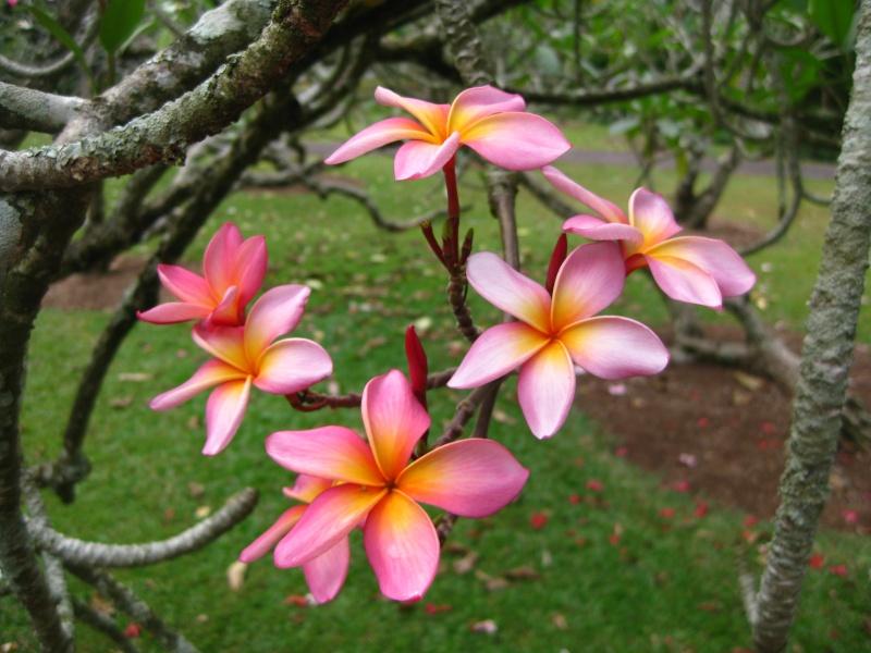 plumeria du jardin botanique de singapoure