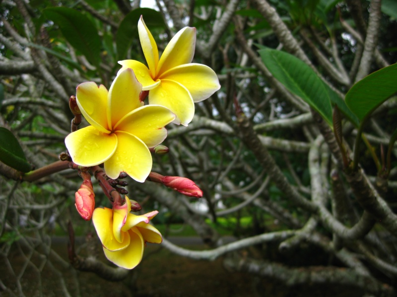 Plumeria du jardin botanique de singapoure for Plantes par correspondance