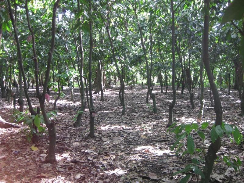 Ambanja theobroma cacao for Plantes par correspondance