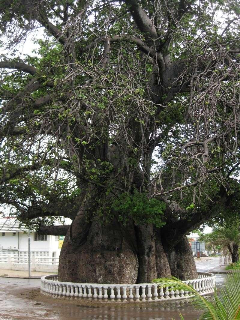 Baobabs for Plantes par correspondance