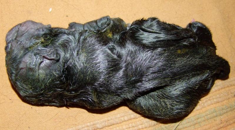 chiot qui essaye de vomir Un chiot golden retriever qui essaye de dormir sur des marches #chien #lol #chiot.