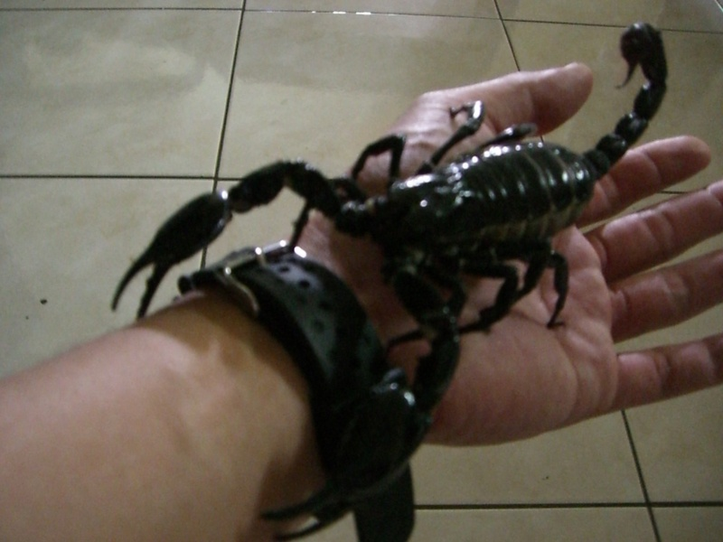 H Spinifer Scorpions Alex s H Spinifer and