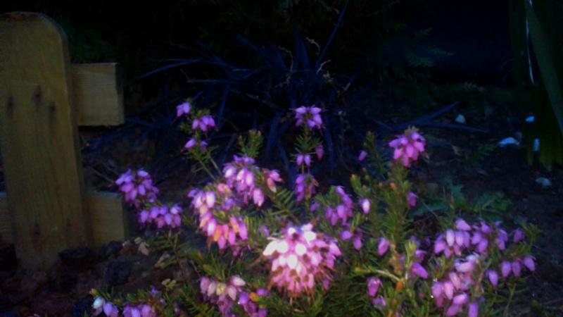 Floraison des plantes et arbuste - Quand tailler saule crevette ...