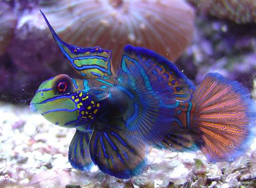 Le plus beau poisson d aquarium for Poisson pour eau froide