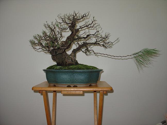 Casuarina Equisetifolia (Cemara Udang or Mu Ma Huang)