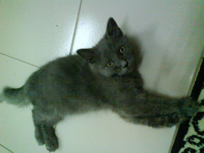 Russian blue persian cat
