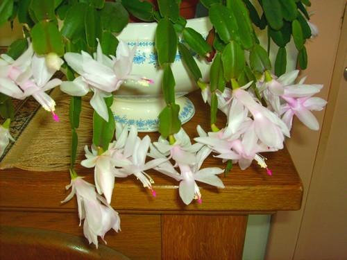 Le cactus de no l - Plante salle de bain sans lumiere ...