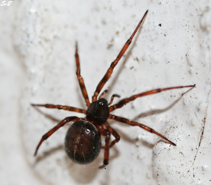Araign e brune for Araignee de maison