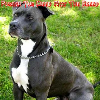 American Pitbull Terrier Forum