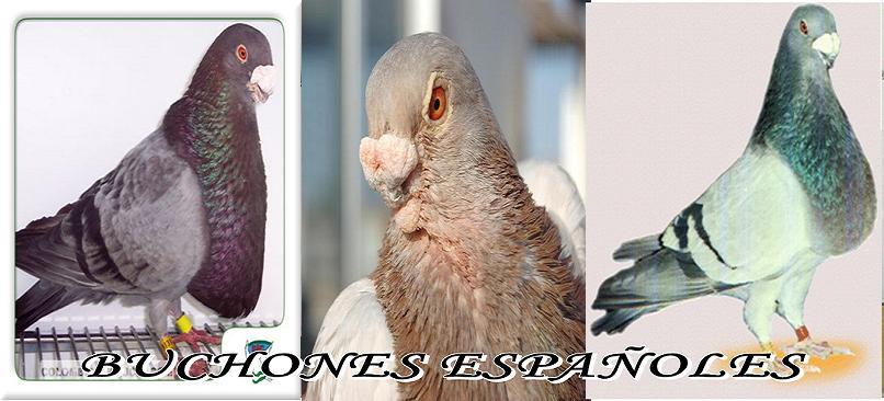 FORO PALOMOS BUCHONES ESPAÑOLES