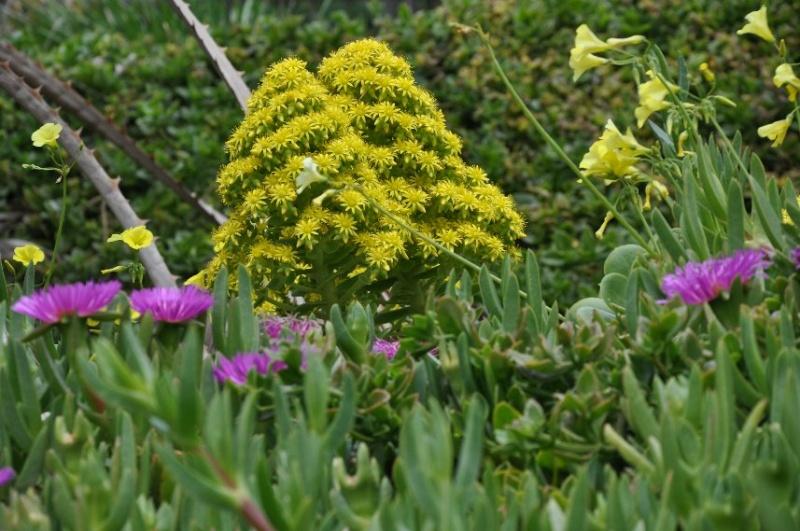 Aeonium Arboreum Var Atropurpureum Identification Plante Grasse Fleurie
