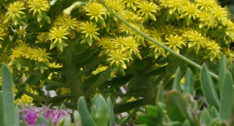 Aeonium Arboreum Var Atropurpureum Identification Plante Grasse Fleurie Page 2