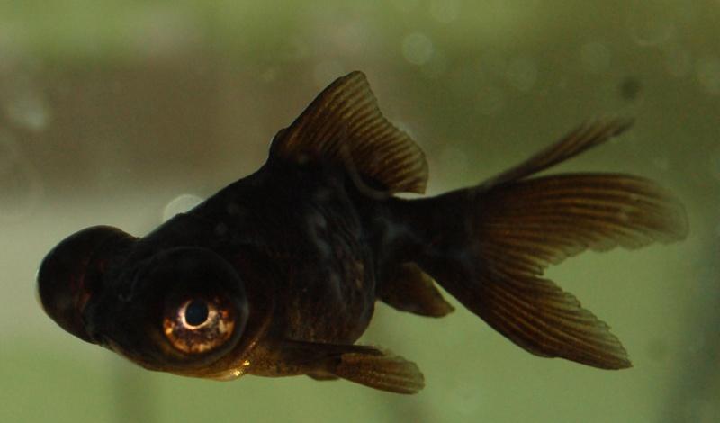 Mon t lescope noir devient gris for Animalerie poisson