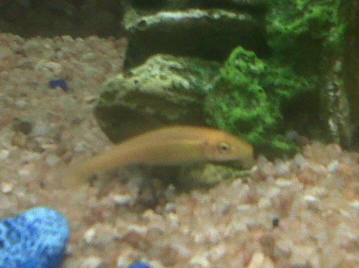 Recherche le nom de ce poisson for Nettoyeur aquarium poisson