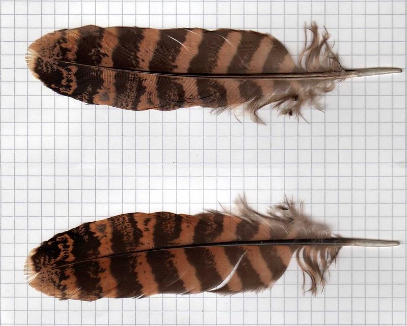 Plume identifier - Signification des plumes d oiseaux ...